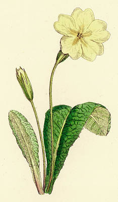 Primroses Drawing -  Common Primrose         Date 1867 by Mary Evans Picture Library