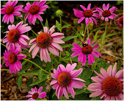Photograph -  Coneflower Gang  by James C Thomas