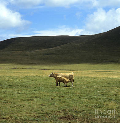 Cow And Calf. Aubrac . France. Art Print by Bernard Jaubert
