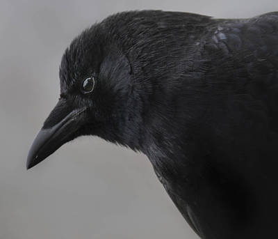 Photograph -  Crow Mother - In Winters Gray by Rae Ann  M Garrett
