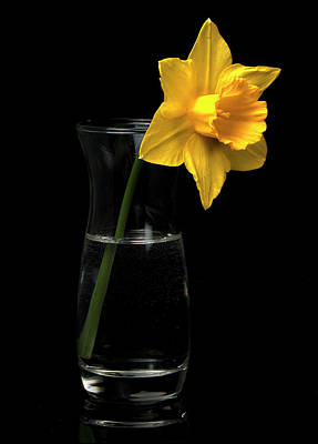 Photograph -  Daffodil by Ron Roberts