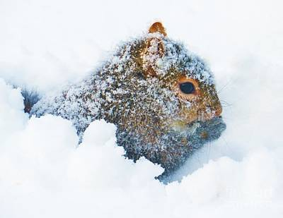 Photograph -  Deep Snow Squirrel by Judy Via-Wolff