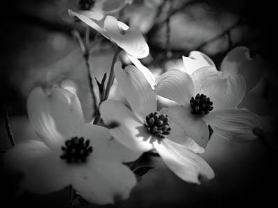 Dogwood Blossoms-bk-wh-v Art Print