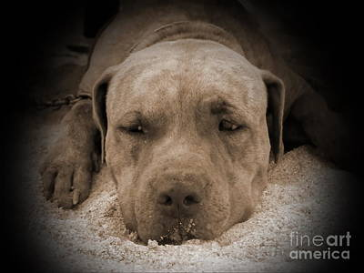 Pitbull Photograph -  Don't Disturb Me by Michelle Meenawong