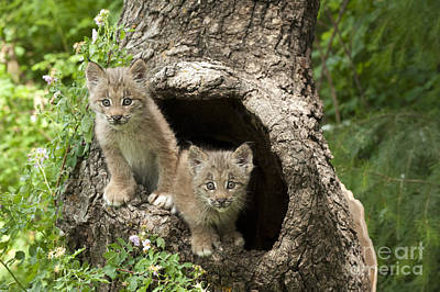 Canadian Lynx Photograph -  Double Trouble by Sandra Bronstein