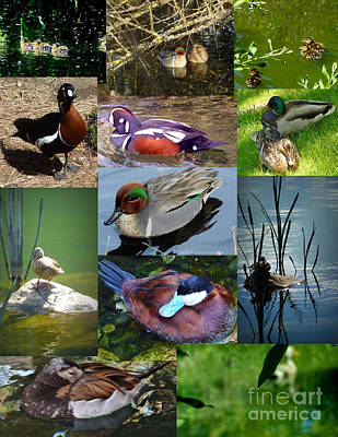 Photograph -  Ducks Collage by Susan Garren