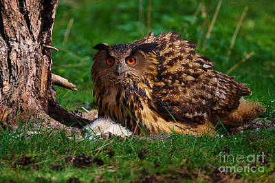Photograph -  Eurasian Eagle Owl On Her Nest by Nick  Biemans