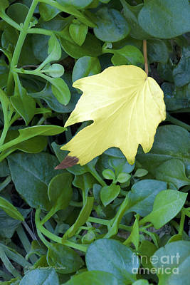 Photograph -  Fallen Yellow Leaf by Richard J Thompson