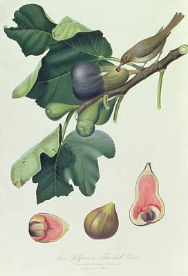 Pomona Painting - - Fico Fetifero And Fico Dell Osso by Giorgio Gallesio