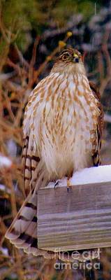 Photograph - Coopers Hawk Flew In With The Winter Storm by Eunice Miller