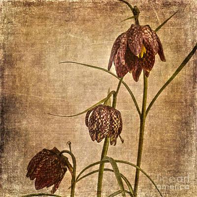 Fritillaria Meleagris Art Print