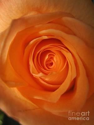Photograph -  Glowing Orange Rose 3 by Tara  Shalton