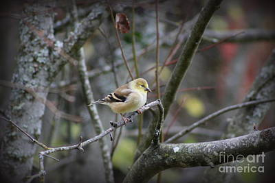 Photograph -  Goldfinch by Leone Lund