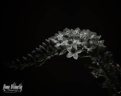 Photograph -  Gooseneck Loosestrife by Roman Wilshanetsky
