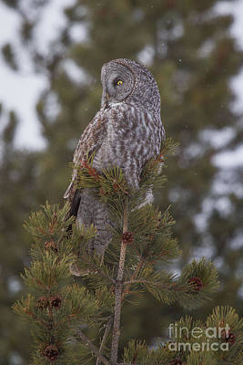 Photograph -  Great Gray Owl 1 by Katie LaSalle-Lowery