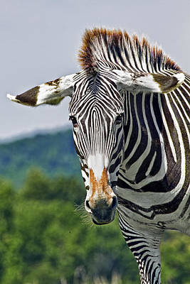 Beauty Photograph -  Grevy's Zebra by Marcia Colelli