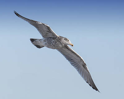Photograph -  Gull Friend by Ross Powell