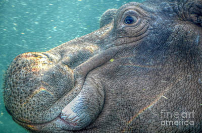 Photograph -  Hippopotamus Smiling Underwater  by Peggy Franz