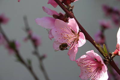 Photograph - 	 Honey Bee Feeding On Peach Tree Blossom by Tracey Harrington-Simpson