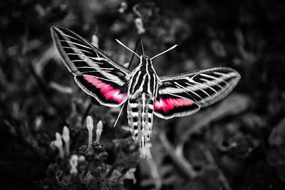 Hummingbird Moth Bw Print Art Print by Doug Long