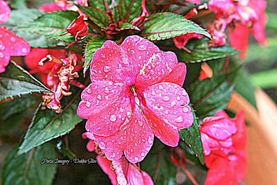 Photograph -  Impatiens by Debbie Sikes