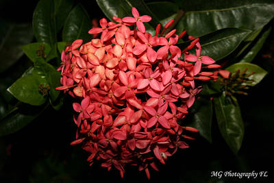 Photograph -  Ixora Night  by Marty Gayler
