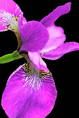Photograph -  Japanese Iris Violet Black  by Jennie Marie Schell