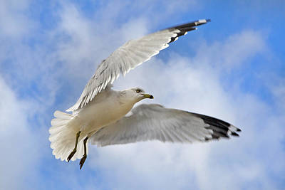 Gull Wall Art - Photograph -  Jekyll Island Seagull by Betsy Knapp