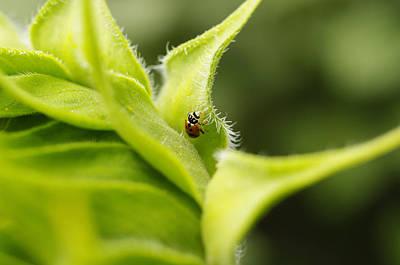 Ladybug Photograph -  Ladybird On A Sunflower by Elena Paskova