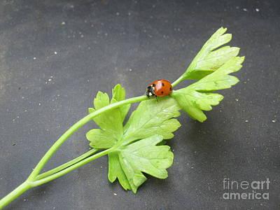 Photograph -  Ladybug On A Parsley Stalk 1 by Tara  Shalton