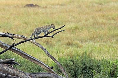 Photograph -  Leopard Cub In Serengeti by Tony Murtagh
