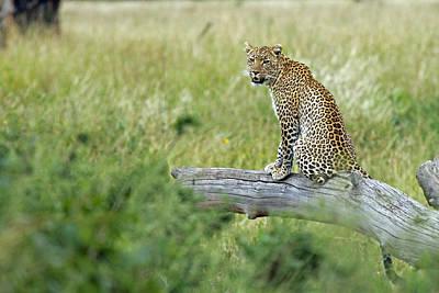 Photograph -  Leopard In Serengeti by Tony Murtagh