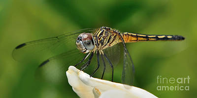 Photograph - Austrogomphus Dragonfly by Olga Hamilton
