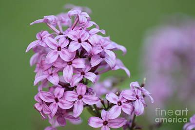 Photograph -  Lilac Beauties by Jennifer E Doll