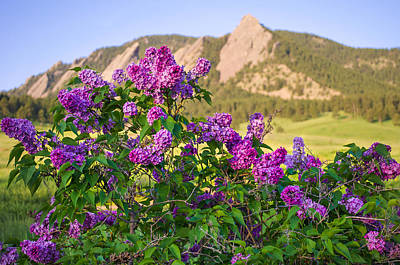 Photograph -  Lilac Flowers - Boulder Colorado by Aaron Spong