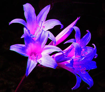 Photograph -  Lily Glow by Margaret Saheed
