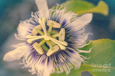 Passiflora Edulis Photograph -  L'innocence Dans Les Jardins by Sharon Mau
