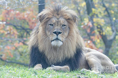 Photograph -  Lion Ceo by Chris Scroggins