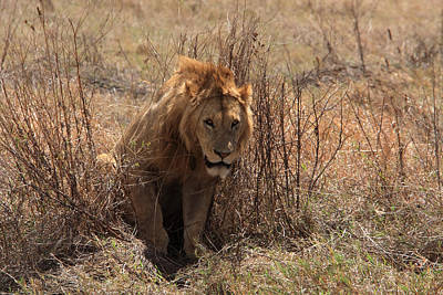 Photograph -  Lions Of The Ngorongoro Crater by Aidan Moran