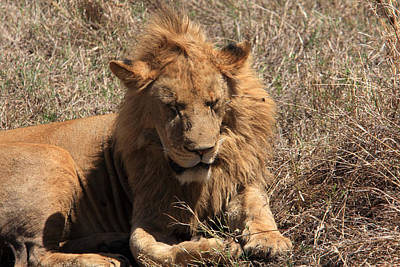 Photograph -  Lions Of The Ngorongoro Crater - Tanzania by Aidan Moran