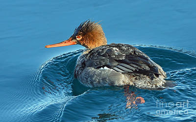 Photograph -   Merganser by Rodney Campbell