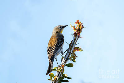 Yellow Rumped Warbler Photograph -  Migrating Warbler by Robert Bales