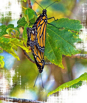 Monarch Butterflies Coupled In Their Mating Ritual  Art Print by Constantine Gregory