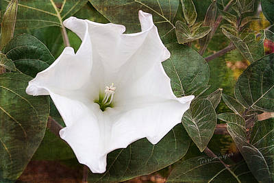 Photograph -  Moonflower by Terri Harper