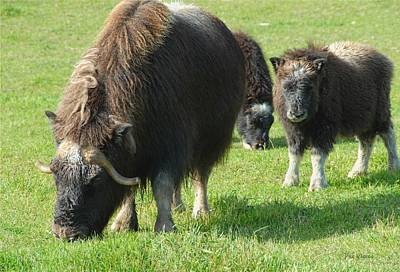 Photograph -  Musk Ox And Calves by Dyle   Warren