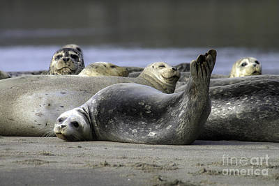 Photograph -  Nestucca Bay Harbor Seals by Tim Moore