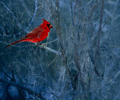 Animals Photos -  Northern Cardinal by Thomas Young