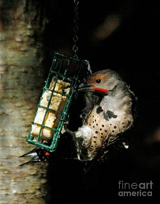 Photograph -  Northern Flicker Feeding by Chris Anderson
