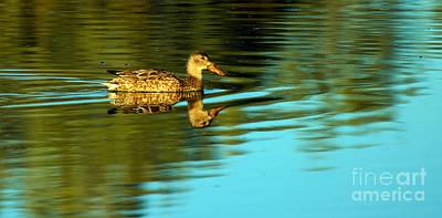 Haybales Photograph -  Northern Shoveler Duck by Robert Bales