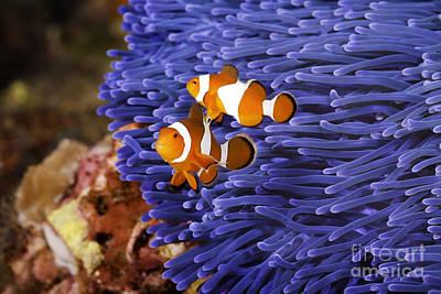 Clown Fish Photograph -  Ocellaris Clownfish by Anthony Totah